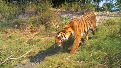 Indiens vilda tigrar.