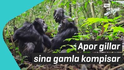Schimpanser har barndomsvänner
