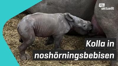 Noshörningsbebis född på Kolmårdens djurpark