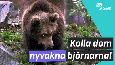 Björnarna vaknar efter vintern