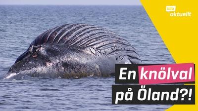 Död val hittad på Öland