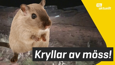 Invasion av möss i Australien