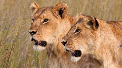 När Rwanda försöker bygga upp landet efter det förödande inbördeskriget ingår också att återskapa de nationalparker som en gång fanns. Även de djur som levde där ska återinföras och nu har turen kommit till lejonen.