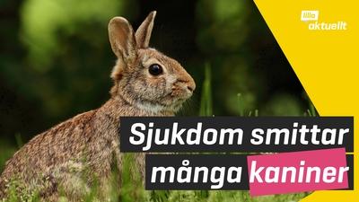 Flera kaniner drabbade av sjukdom