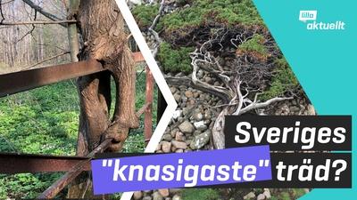 Sveriges knasigaste träd utsedda!