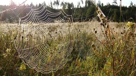 Spindelnät syns tydligt tack vare daggen. Gånghester, Västergötland den 22 augusti.