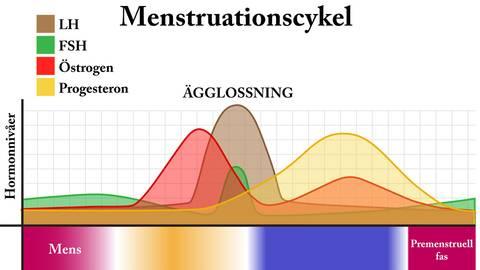 längre menscykel än vanligt