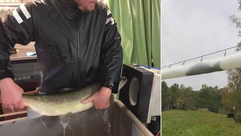 Med en hastighet på upp till åtta meter per sekund skjuts laxen fram i en lång tub mellan Fortums avelsfiskestation i Forshaga och en väntande tankbil utanför.
