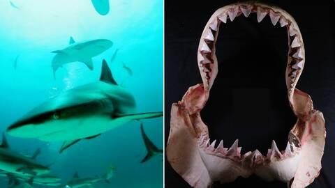 Frisimmande hajar hajfossil hajkäke