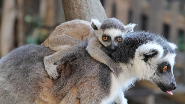 Den lilla lemuren håller hårt runt sin mammas hals. Förra året förlorade  samma mamma sina två barn ungar. cb01a676d25e0