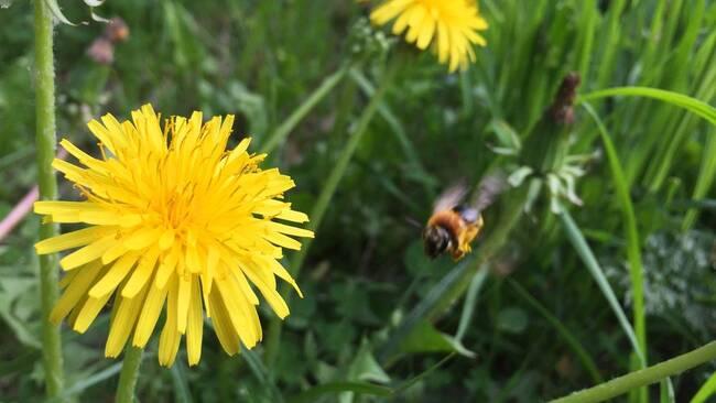 Bi som flyger till maskros.
