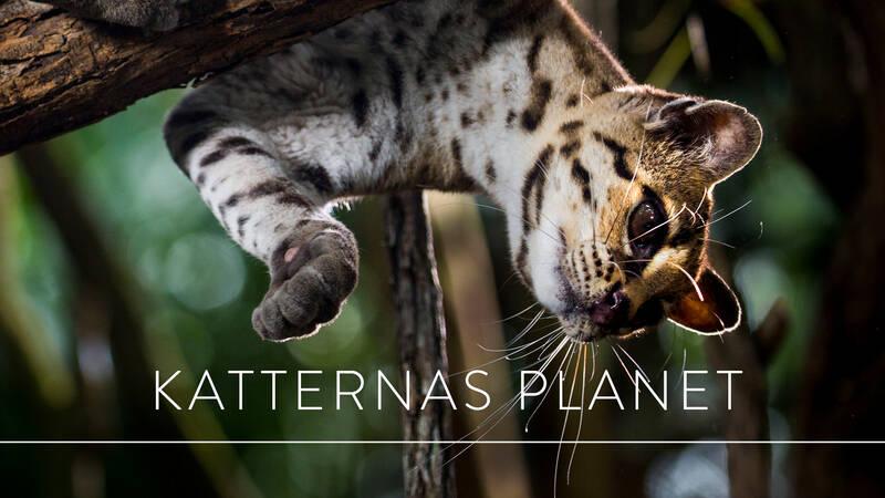 Margay, margaykatt eller långsvanskatt är en art i familjen kattdjur och en nära släkting till ozeloten. Margay är kattvärldens trädklättringsexperter. De kommer aldrig fastna i ett träd då deras ankler kan rotera 180 ° så att de kan gå vertikalt nedåt.