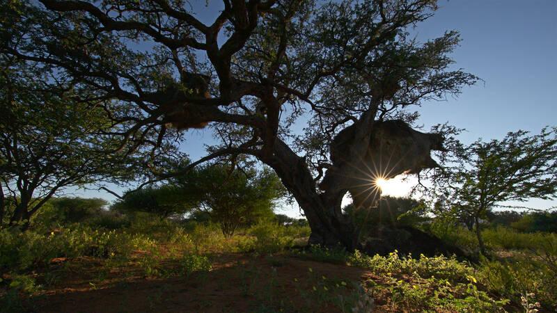 Trädet Acacia erioloba i soluppgången - Afrikas gamla träd