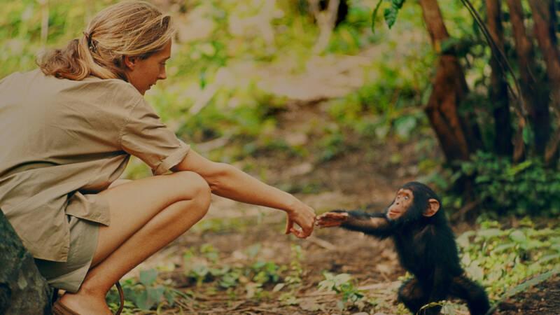 Gombe, Tanzania - Jane Goodall och schimpansen Flint.