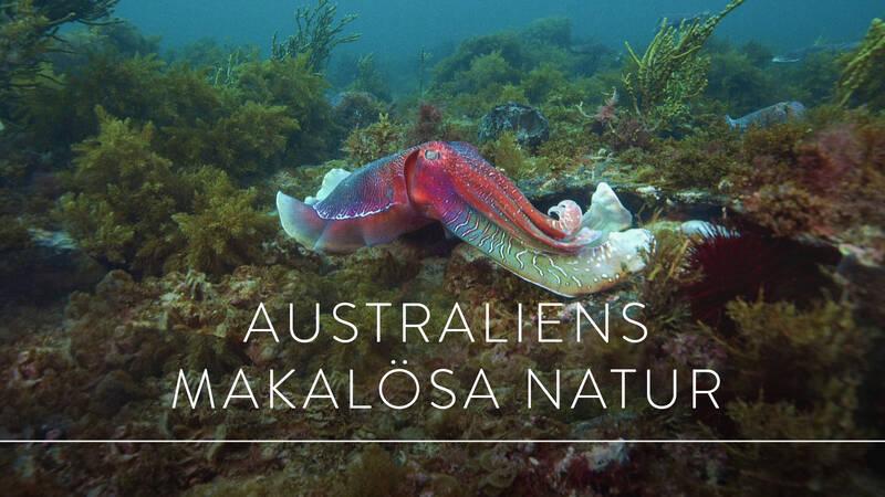 Den här bläckfisken blir ungefär en meter lång och finns bara i australiensiska vatten.