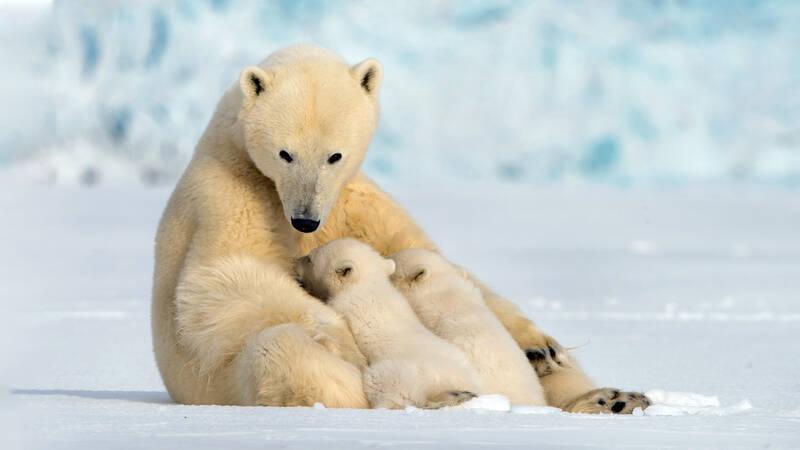 Med Arktis som magisk kuliss får vi följa två nyfödda isbjörnar som lämnar sitt bo för första gången och beger sig ut på en livsomvälvande resa. Med sin modiga mamma som ledare måste de klara den riskabla resan till havet och födan.