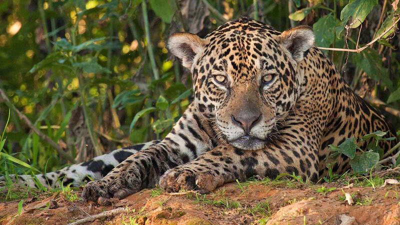 Bara tigern och lejonet är större. Ändå är det få som sett en jaguar - den lever ett mycket diskret liv i Sydamerikas skogar.