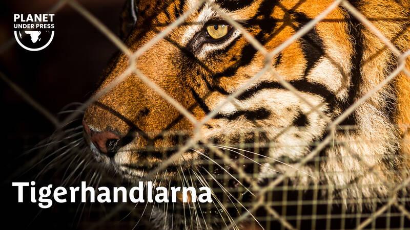 Först var det troféjägarna som ville ha ett tigerskinn på väggen. Sedan kom hotet från traditionell kinesisk medicin där tigern tros ha magiska krafter. Nu har det blivit status att bjuda på tigervin, en vätska där bitar av tiger fått ligga i blöt.