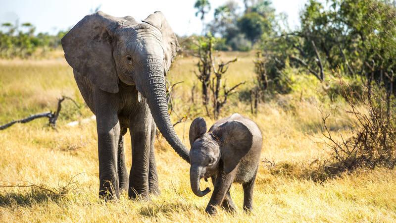 Vilket djur är smartast? Kan det vara elefanten?