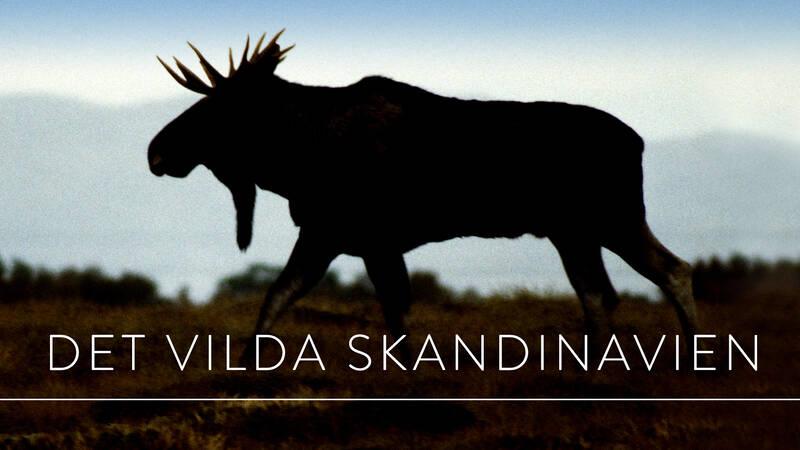 En älg i Det vilda Skandinavien.