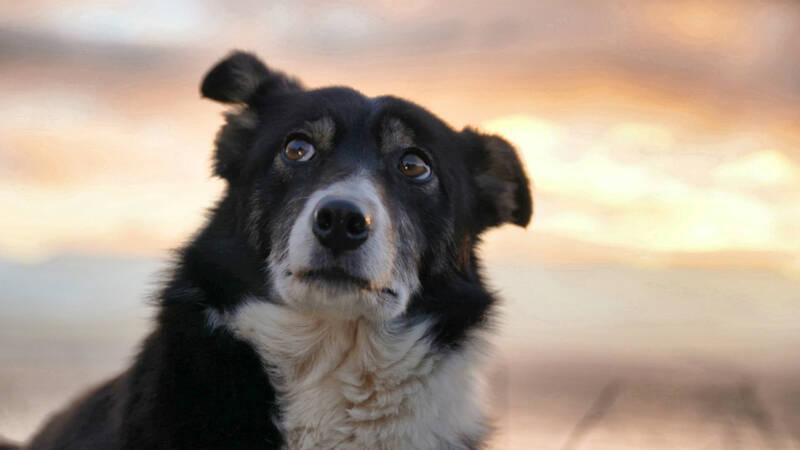 För fårbönderna Elisabeth och hennes make Johnny är vallhundarna Tiny och Bess till ovärderlig hjälp. På höstarna, när fåren ska samlas ihop efter sommarbetet klarar de båda hundarna av rasen border collie av det arbete som förr i tiden krävde 10-12 personer.