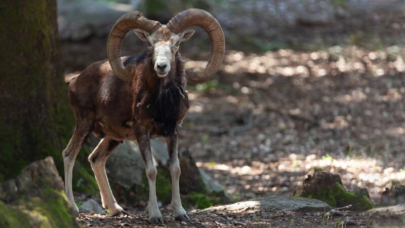 På Korsika lever mufflonfår.