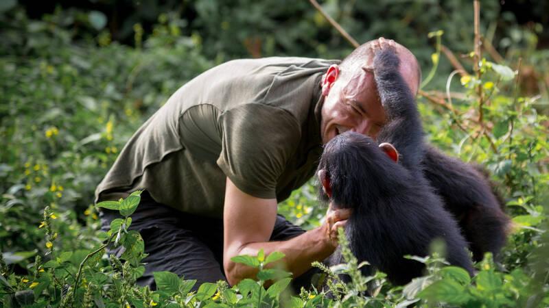 Lekande schimpansungar.