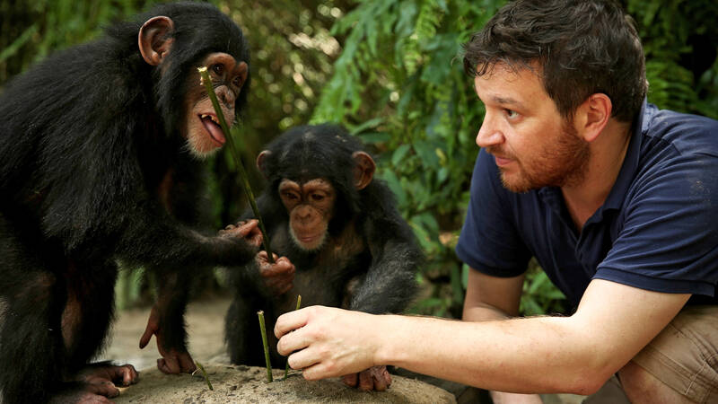Picture Shows: L-R: Chimps Survivor and Bui, chimp specialist Prof Ben Garrod) Ben tests the chimps' development on skills like tool use. In the wild chimps use sticks to fish for termites and ants.