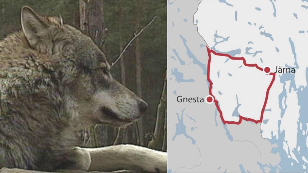 Arkivbild på varg och karta över området för skyddsjakt.