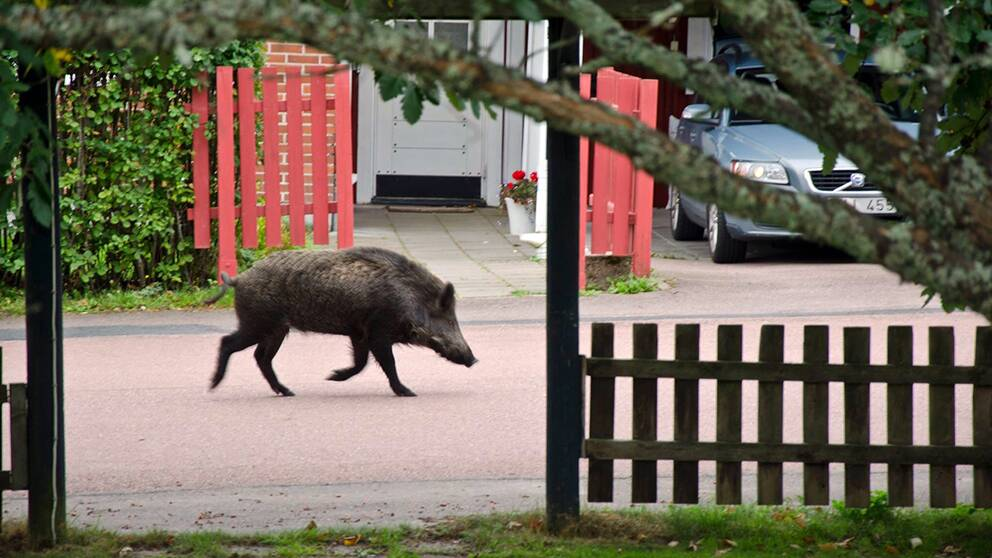 vildsvin som springer på en gatan