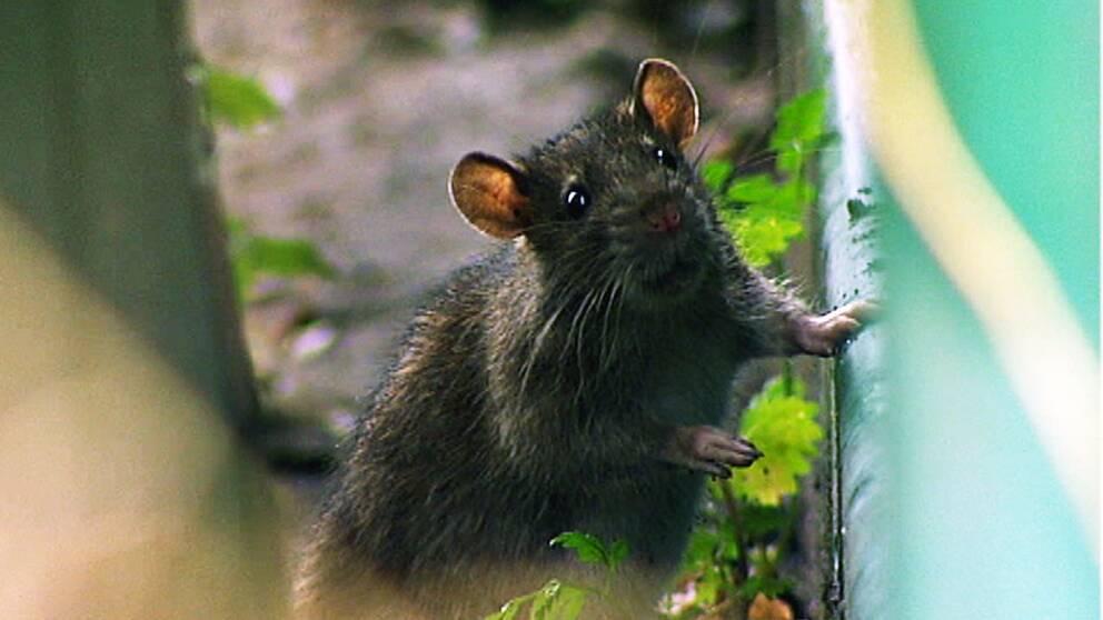 Råtta. Arkivbild.