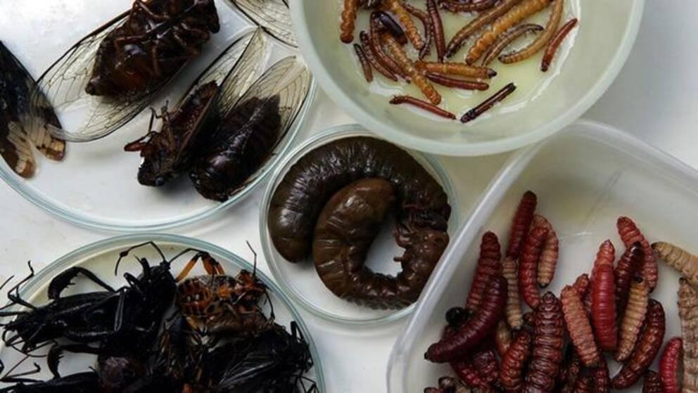 """Serveringen av insekter på Sergels torg stoppades. Livsmedelskontrollen: """"Det är inte undersökt om det är ett ofarligt livsmedel"""""""
