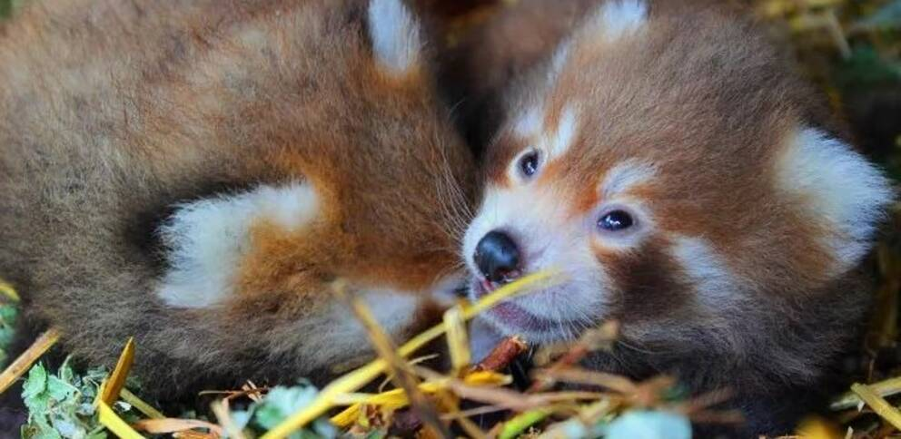 röd panda foto parken zoo