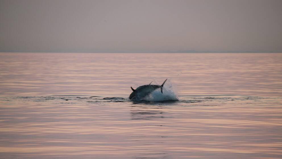 En tonfisk hoppar.