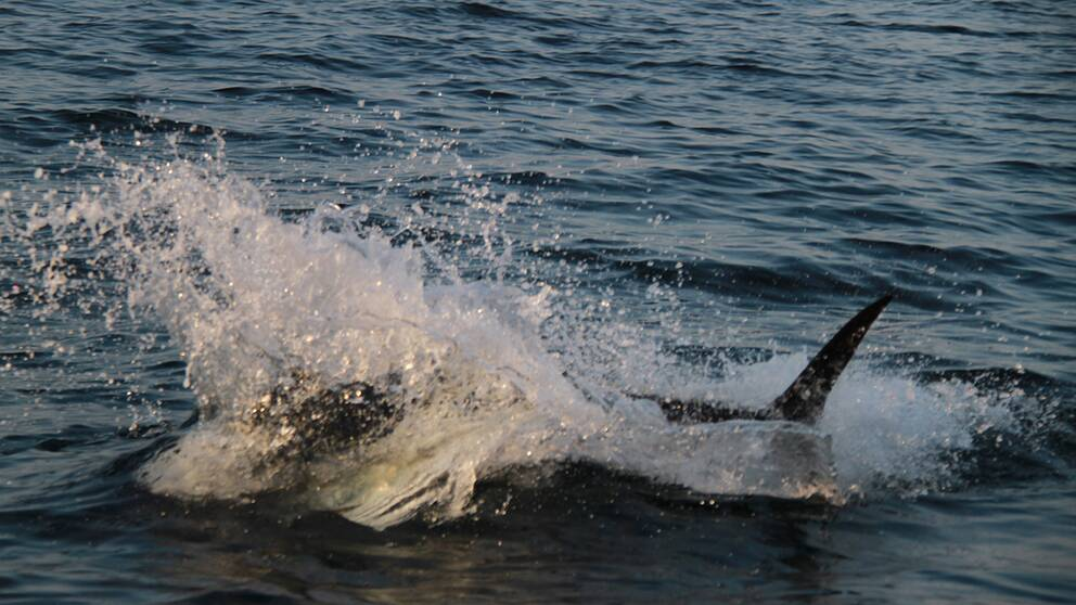 Tonfiskarna var två–tre meter långa, enligt Richard Wajes bedömning.