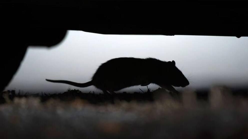 siluett av en mus som går på en matta