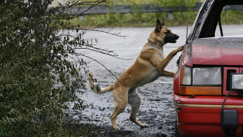 En polishund undersöker en flyktbil.