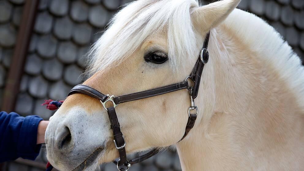Norsk fjordhäst.