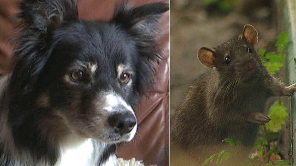 Hund och råtta