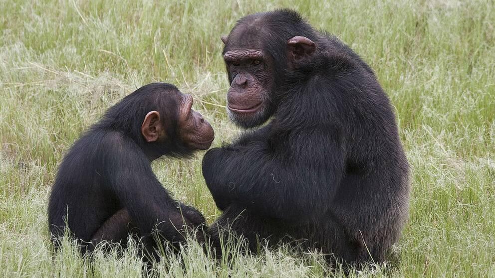 En bild på en lite apa som sitter och tittar på en större apa