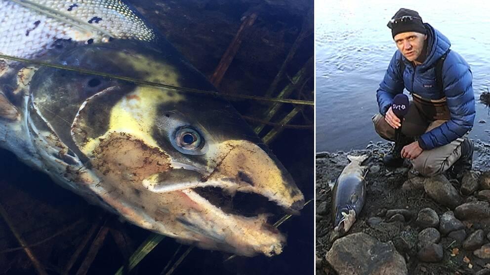 Död fisk i Ljungan