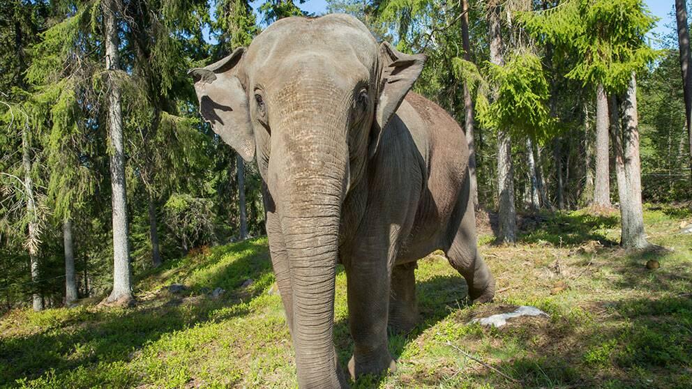 bua kunglig asiatisk elefant kolmården