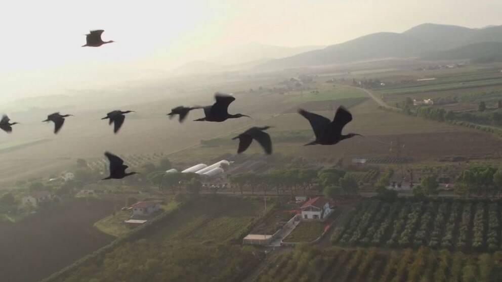 Flyttfåglar arkiv