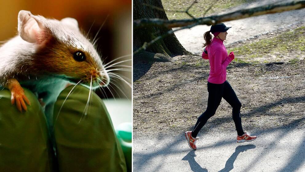 En försöksmus och en kvinna som motionslöper.