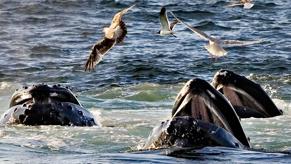 Knölvalar och fiskmåsar.