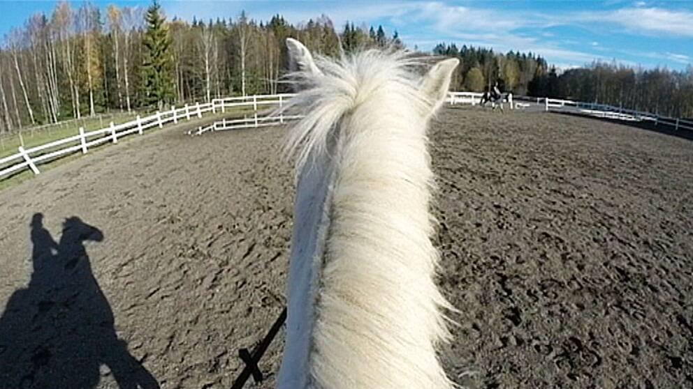 vit hast häst