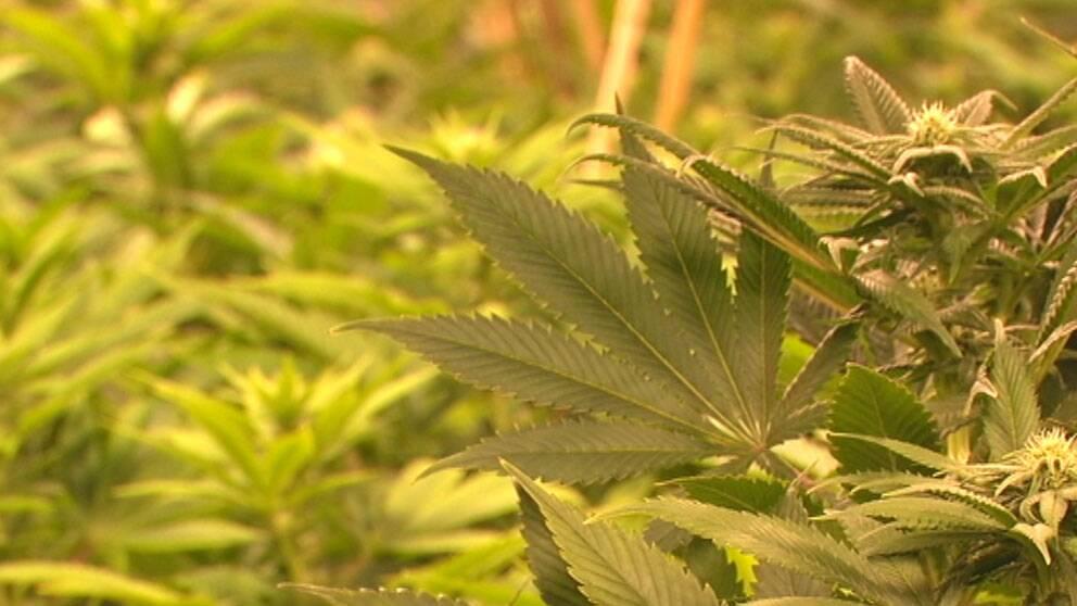 Laglig marijuanaodling i Kalifornien.
