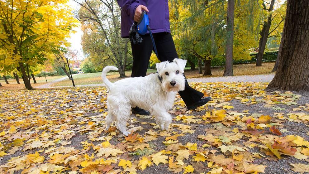Hund på promenad bland höstlöv.