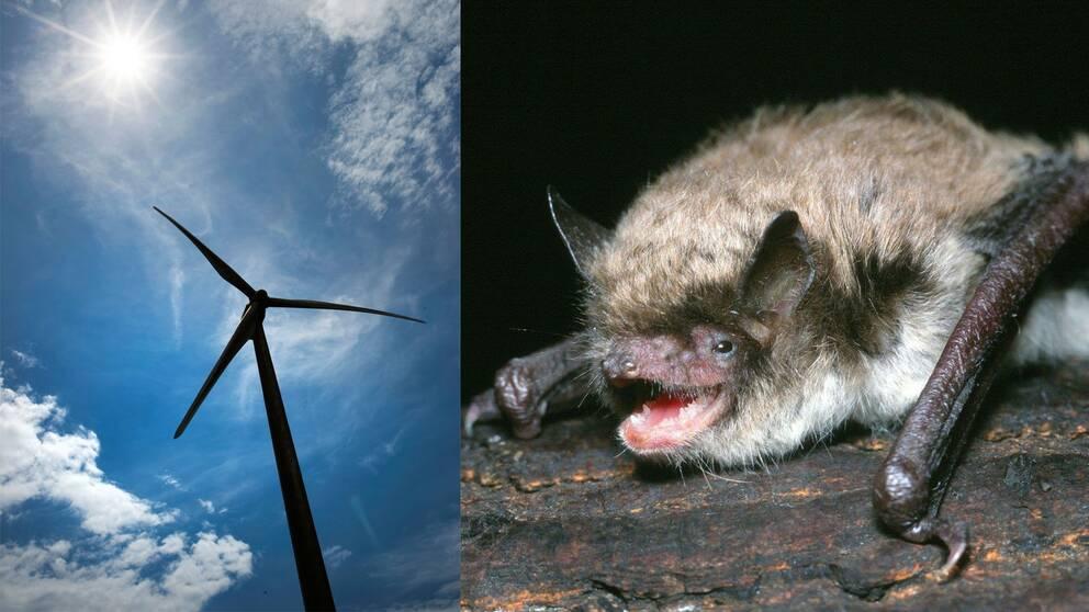 Bild på ett vindkraftverk och en fladdermus