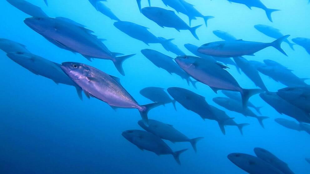 Ett undervattensfotografi på ett fiskstim.